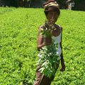 plantation cacahuètes
