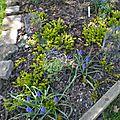 sous le cèdre bleu : muscari, lysimachia, euchère