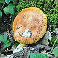 Amanita caesarea (2)