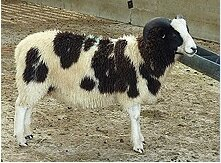 jacobs_sheep_for_sale