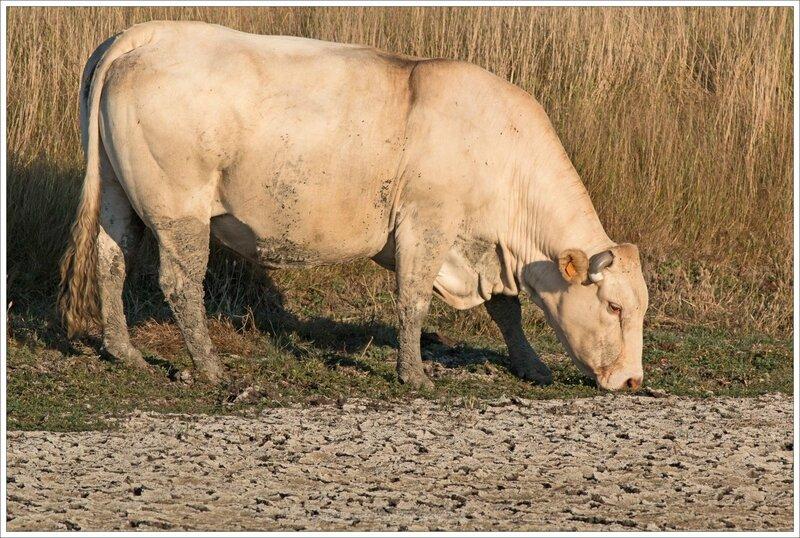 MS secheresse vache 020815