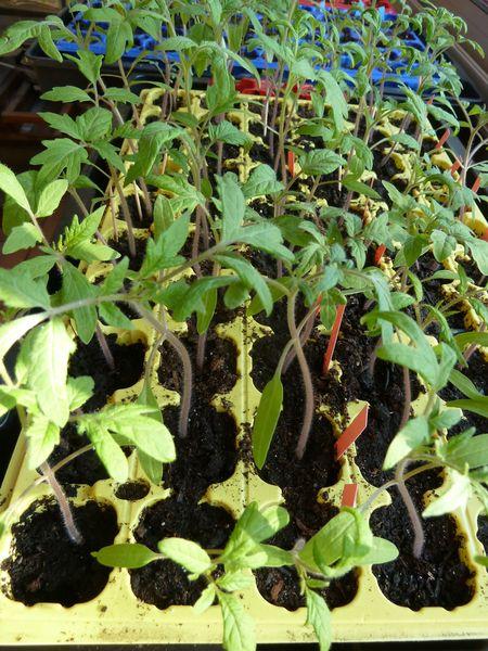 21-semis tomates-poivrons (1)