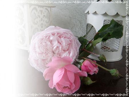 roses01rosesP5287241
