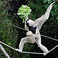 Primates - gibbon à bonnet - hylobates pileatus