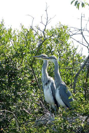 22juill-couple-herons