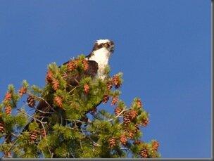 osprey_almanore
