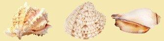 coquillages 1