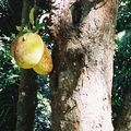 Kandy - jardin botanique _ jaquier