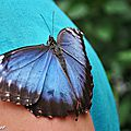 Morpho peleides • Morphidae • Costa Rica