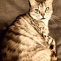 Daisy chat gris tigré