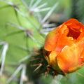 flores 018 capullo