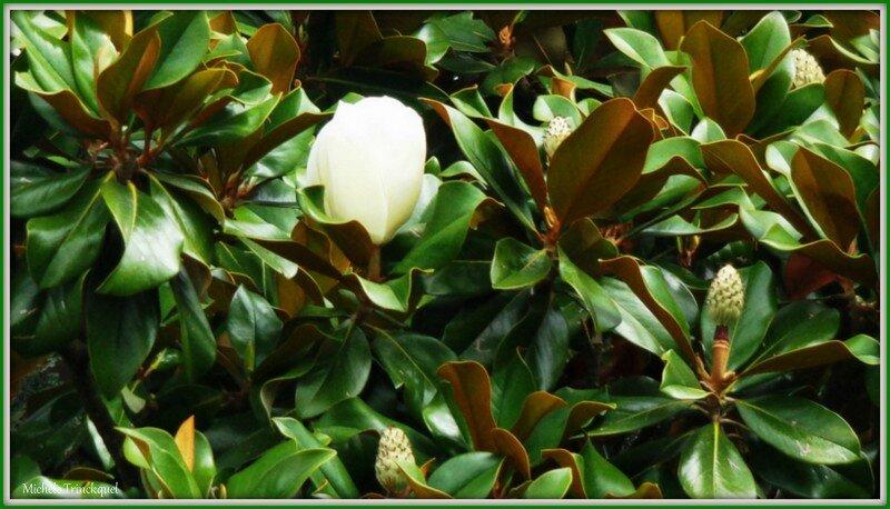 Magnolia 160715