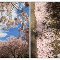 cerisier en fleurs 005