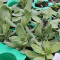 2009 05 18 Mes pétunias sous serre qui vont fleurir