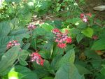 108-Clerodendron thomsonae