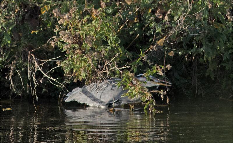 Oiseau héron borne réserve 5 poisson 131018 zoom