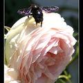 Sur une rose pierre de ronsard !