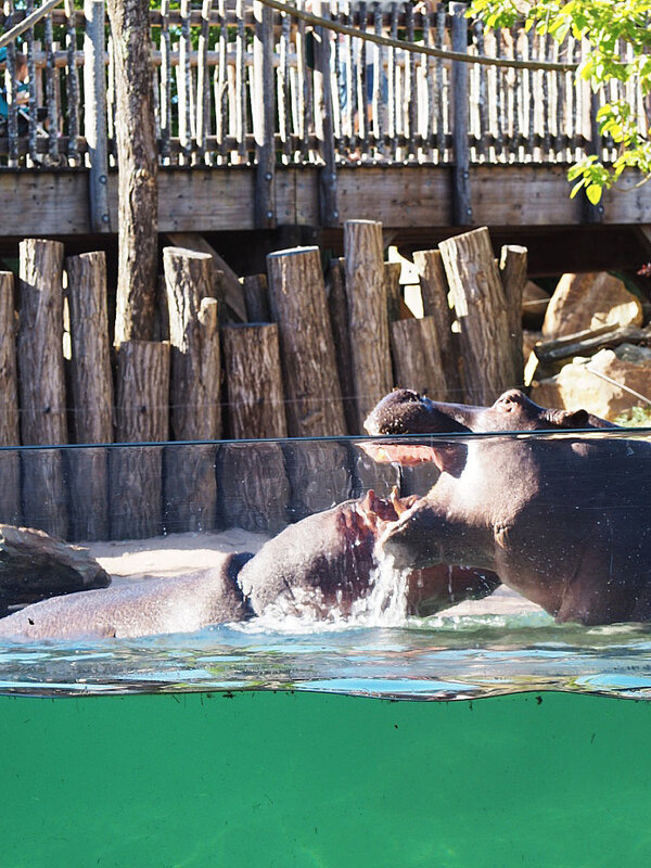 zoo-beauval-animaux-hippopotames-32