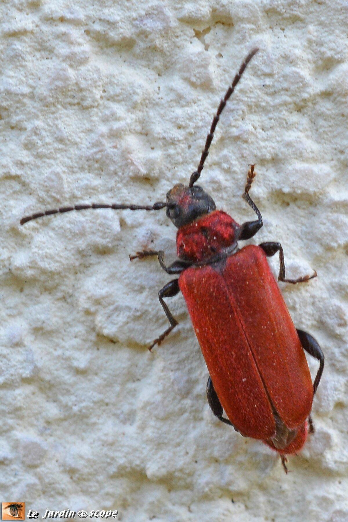 Callidie sanguine • Pyrrhidium sanguineum • famille des Cerambycidae