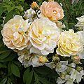 roses-dimanche (2)
