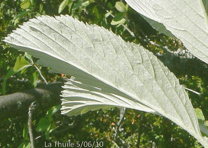 à 8-12 paires de folioles saillantes blanches tomenteuses en dessous