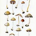 Psathyrella lutensis Gerard_Tassi__4_