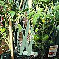 Tomates 23 juillet 2011