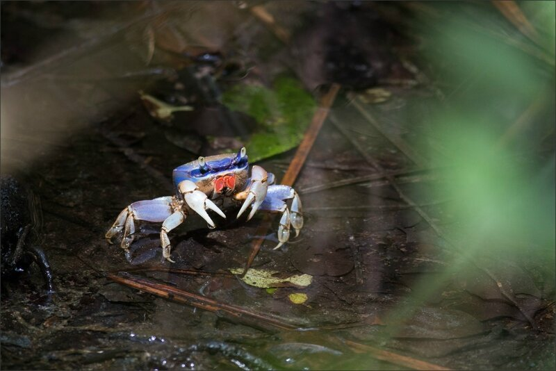 CR 7 Cahuita parc 2015 6 crabe bleu
