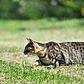 Instinct-du chasseur : Le Chat domestique