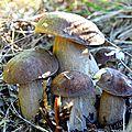 Florilège de cèpes 2013 en plaine...