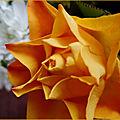 Une rose couleur soleil