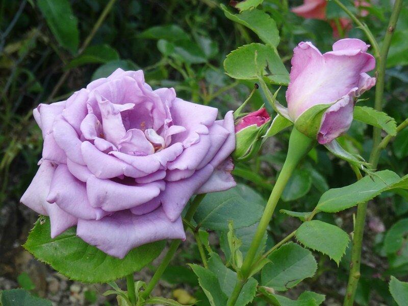 rosier violet