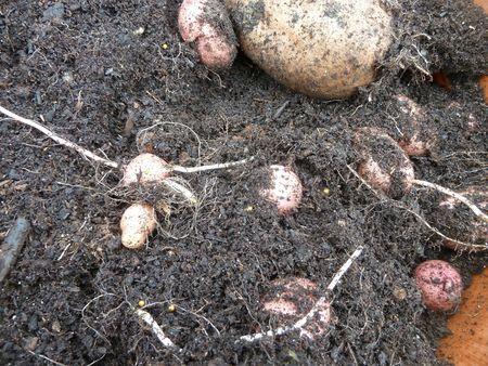 10-pomme de terre mira en pot (2)
