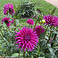 Dahlia-Purple-Gem