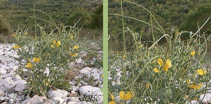 siliques 15-22 cm arquées rugueuses