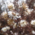 Flocons d'asters