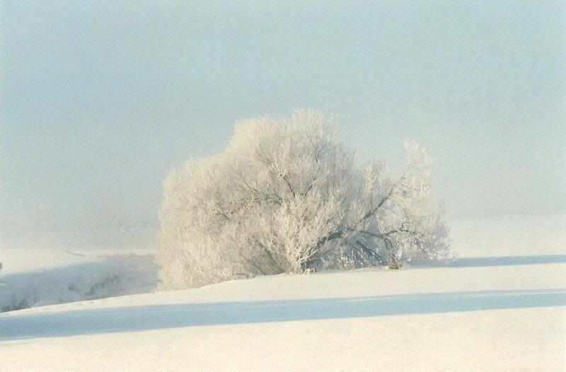 arbre blanc givré