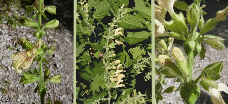 fleurs en verticilles lâches formant une grappe allongée