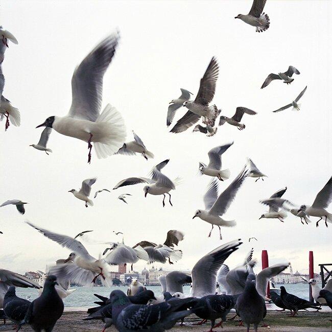 venise pigeono