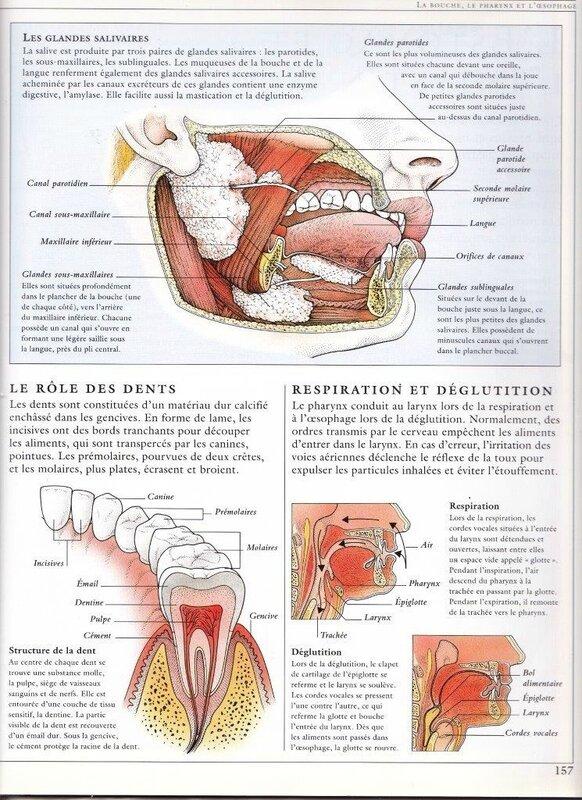 Anatomie Bouche anatomie de la bouche. - colopathie et prothèses dentaires