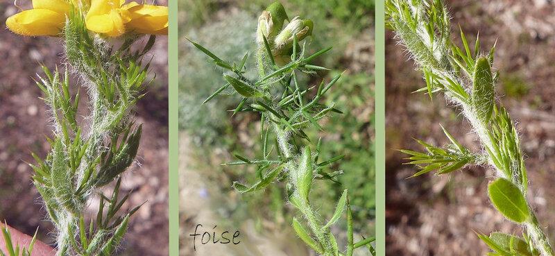 jeunes rameaux épineux feuilles alternes sessiles à limbe ovale poilu