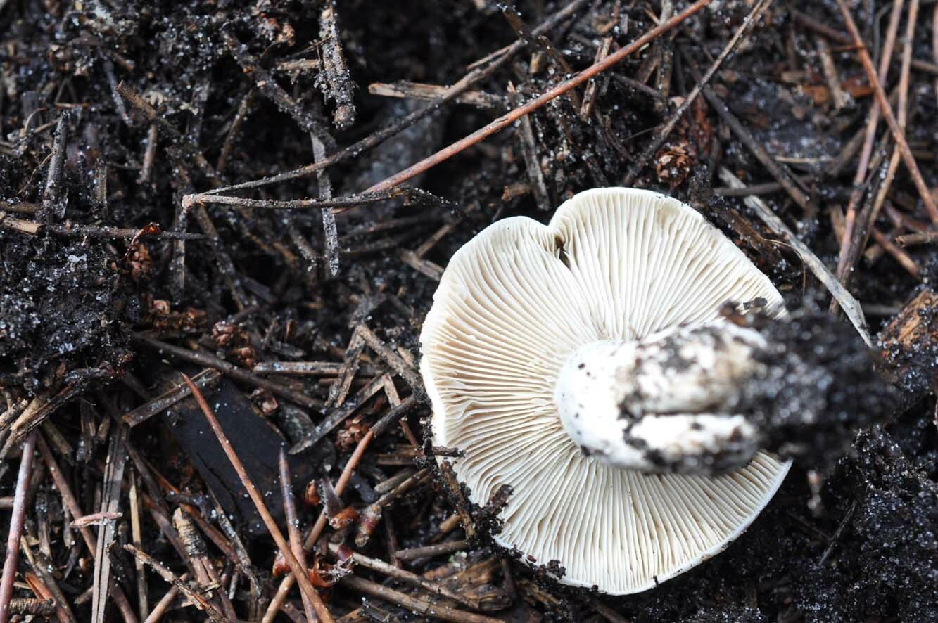 Russula densifolia (5)