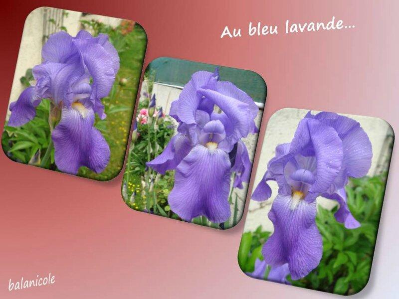balanicole_2015_mai2_05_iris lavande