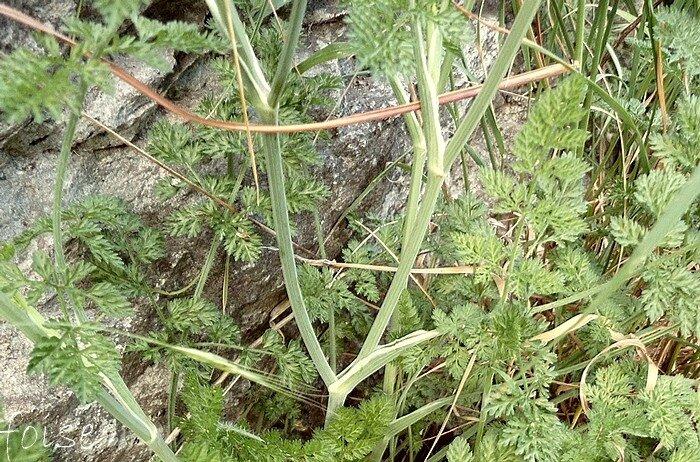 feuilles supérieures sessiles sur une gaine membraneuse