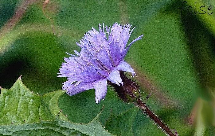pédoncule velu-glanduleux fleurs d'un bleu violacé toutes ligulées