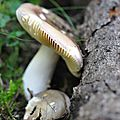 Russula sp (8)