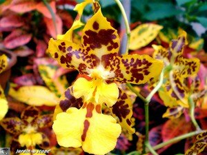 Orchidee_tigre
