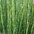 Presle • Equisetum camtschatcense • Famille des Equisetaceae