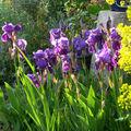 Les iris et notre cabanon en fête