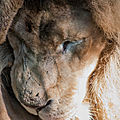 lion beauval